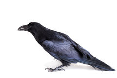Common Raven isolated on white Royalty Free Stock Photography
