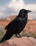 Common Raven Stock Photos