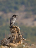 Common Raven on a log Royalty Free Stock Photos