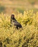 Common Raven on mediterranean oak Royalty Free Stock Images
