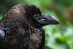 Common raven or Northern raven Stock Image