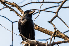 Common Raven perched Royalty Free Stock Photography