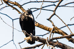 Common Raven perched Stock Photo