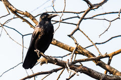 Common Raven perched Royalty Free Stock Image