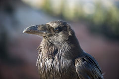 Common Raven. A portrait of a Common Raven ( Corvus corax  ) seen here in Bryce Canyon, Utah, USA Royalty Free Stock Photography