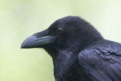 Common Raven portrait Stock Image