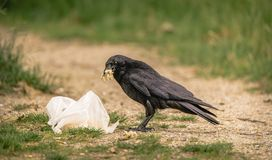 Common Raven pulls food out of a discarded plastic bag stock photo