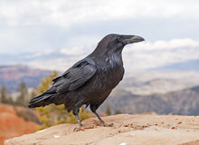 Common Raven on a rock ledge Royalty Free Stock Photography