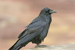 Common Raven on a Rock Ledge Royalty Free Stock Images