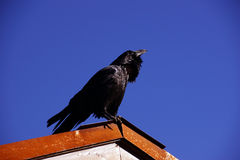 Common raven, on roof in early morning Stock Images