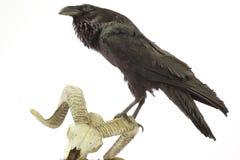 Common Raven sitting on sheep skull stock images