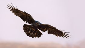 Common Raven soars in the sky with spreaded wings, legs and tail stock photo