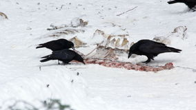 Common raven and some Carrion crows feeding on carcasses. stock video