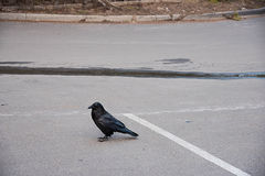 Common raven Royalty Free Stock Images
