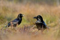 Common Raven at sunlight Stock Images