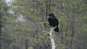 Common Raven on tree stock footage
