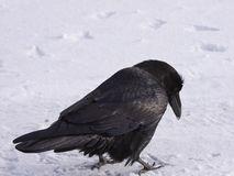 Common Raven walking in the snow, Alberta, Canada Royalty Free Stock Photo