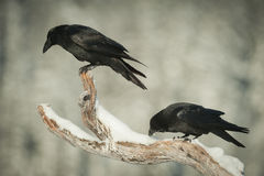 Common Ravens Stock Image