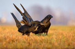 Common Ravens active playing in field with lifted wings royalty free stock photography