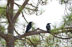 Common ravens. Corvus corax. Pajonales. Parque Rural del Nublo. Tejeda. Gran Canaria. Canary Islands. Spain royalty free stock image