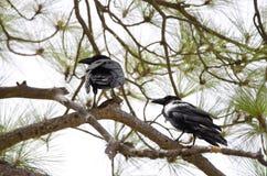 Common ravens. Corvus corax. Pajonales. Parque Rural del Nublo. Tejeda. Gran Canaria. Canary Islands. Spain stock photos