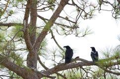Common ravens. Corvus corax. Pajonales. Parque Rural del Nublo. Tejeda. Gran Canaria. Canary Islands. Spain stock photography