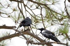 Common ravens. Corvus corax. Pajonales. Parque Rural del Nublo. Tejeda. Gran Canaria. Canary Islands. Spain royalty free stock photography