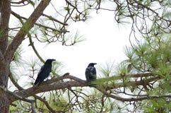 Common ravens royalty free stock photo