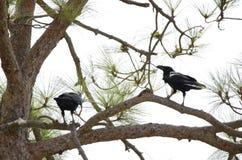Common ravens. Corvus corax. Pajonales. Parque Rural del Nublo. Tejeda. Gran Canaria. Canary Islands. Spain stock image