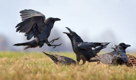 Common ravens interactions – fierce conflict between two birds for carrion. Common ravens interactions – hard fight between two birds for carrion royalty free stock photography