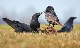 Common ravens interactions – hard argue between two birds for food royalty free stock images