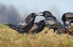 Common ravens interactions – hard talk between two birds for food royalty free stock photography