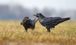 Common ravens interactions - asking for some treats with loud calling royalty free stock photo