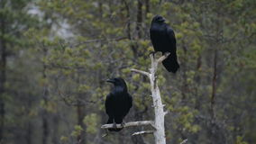 Common Ravens on tree stock video