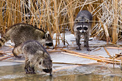 Common Raccoons Royalty Free Stock Images