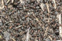 Common red ant face closeup macro,colony Royalty Free Stock Photos