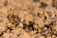 Common red ant (Myrmica rubra) and small black ant (Lasius nigra Royalty Free Stock Images
