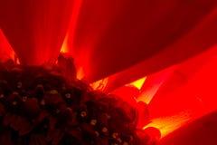 Common Red Chrysanthemum Flower in Macro Close-up Stock Image