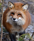 Common red fox Royalty Free Stock Photography