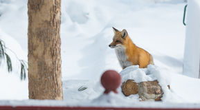 Common Red fox Vulpes vulpes looks for food on winter`s day.  Elusive shy animal comes out of the woods. Stock Photo