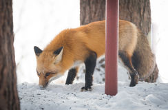 Common Red fox Vulpes vulpes looks for food on winter`s day.  Elusive shy animal comes out of the woods. Royalty Free Stock Image