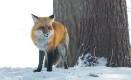 Common Red fox Vulpes vulpes looks for food on winter`s day.  Elusive shy animal comes out of the woods. Stock Image