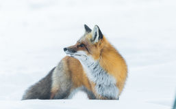 Common Red fox Vulpes vulpes looks for food on winter`s day.  Elusive shy animal comes out of the woods. Stock Photography