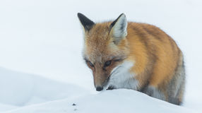 Common Red fox Vulpes vulpes looks for food on winter`s day.  Elusive shy animal comes out of the woods. Royalty Free Stock Photo