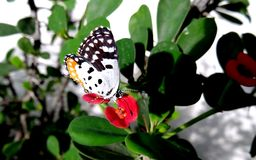 Common Red Pierrot Butterfly Royalty Free Stock Photo