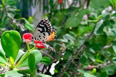 Common Red Pierrot Butterfly Royalty Free Stock Images