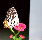 Common Red Pierrot Butterfly Stock Photography
