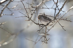 Common red poll on branch Stock Photos