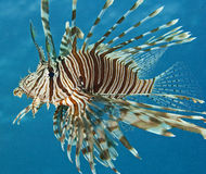 Common Red Sea lionfish. A common Red Sea lionfish with a blue water background Stock Photos