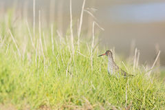 Common red shank at the beach Stock Photos
